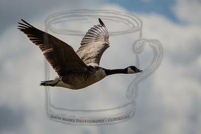 canadian goose, traveling alone, but thankfully announcing its arrival loudly.