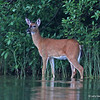 White-tailed Deer on the other side of the lake.  Nothing to do with Great Blue Heron, but taken same trip.