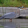 Great Blue Heron starting to swallow Bluegill , Minong, WI 07-09-13