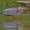Great Blue Heron On North Twin Lake, Minong, WI 07-09-13