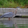 Great Blue Heron after swallowing Bluegill, Minong, WI 07-09-13