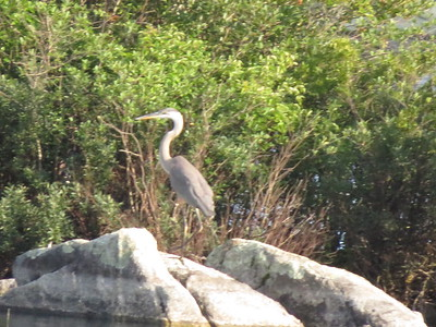 GBH - Carns Cove 8/20/18