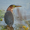 Green Heron<br /> Near Ottawa River Parkway & Mud Lake