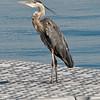 Great Blue Heron<br /> Near Brockville