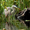 Great Blue Heron <br /> Petrie Island