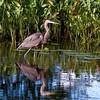 Great Blue Heron <br /> Petrie Island