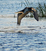 Great Blue Heron Hunting<br /> Mud Lake