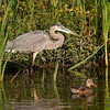 Great Blue Heron Hunting<br /> Near Ottawa River Parkway & Mud Lake