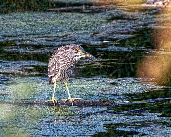 Black-crowned Night Heron (Imature)<br /> Near Ottawa River Parkway & Mud Lake