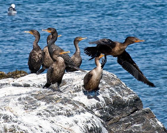 Cormorants<br /> Halifax Harbour