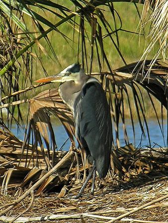 Great Blue Heron Hunting<br /> Nassau