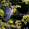 Great Blue Heron Hunting<br /> Petrie Island Ottawa