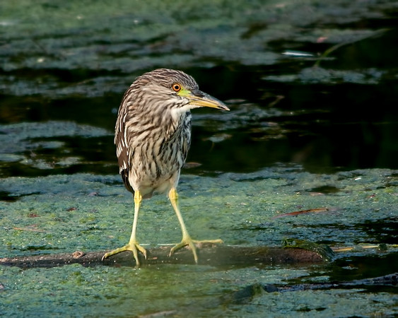 Black-crowned Night Heron (Imature)<br /> Near Ottawa River Parkway & Mud Lake