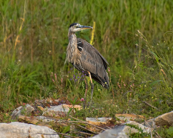 Great Blue Heron Hunting<br /> Near Marshes golf course
