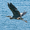 Great Blue Heron Hunting<br /> Near Brockville