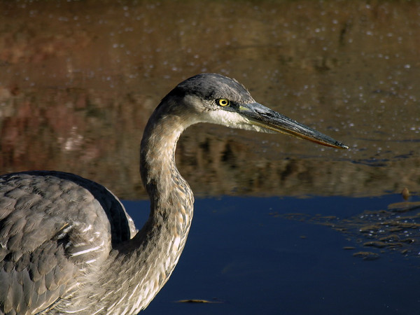 Great Blue Heron Hunting<br /> Mud Lake