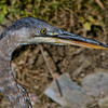 Great Blue Heron Hunting<br /> Old Nortel Property off Carling