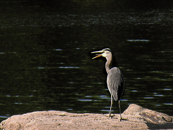 Great Blue Heron Hunting<br /> Almonte Ont