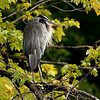 Great Blue Heron Hunting<br /> Petrie Island Ottawa