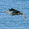 Great Blue Heron Hunting<br /> Near Brockville