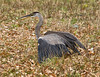 Great Blue Heron Hunting<br /> Ottawa River Parkway