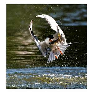 Tern Catching a Fish