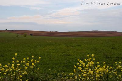O habitat: campos em geral cultivados, na zona de regadio do Caia, perto de Elvas. Great Bustard habitat: Mainly cultivated fields, near Elvas (Portugal), area watered from the Caia reservoir.