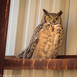 Great Horned Owl, hay barn, chicks gone (already!)