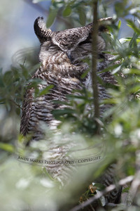 Great Horned Owl, Antelope Island, UT