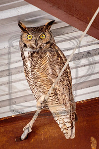 Great horned owl (m) in hay barn.