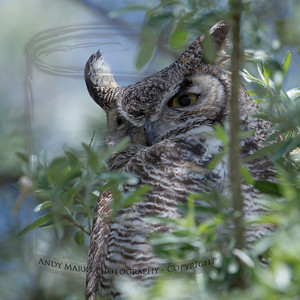 Great Horned Owl - Antelope Island