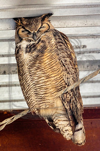 Great Horned owl, hanging out in the hay barn by the bison corral: probably the same one we saw here in the spring.