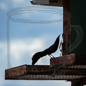 Great tailed Grackle, in the position I most often see them in.
