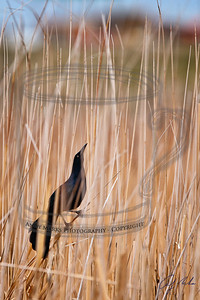 Great-Tailed Grackle in the marsh next to McDonalds by the I-80 exit to Tooele, UT.