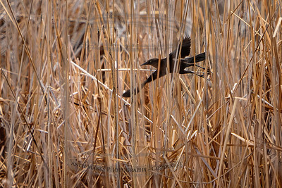 female great tailed grackle, taking off from her hiding place in the reeds. AF worked well.