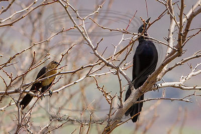 Male and female (?) Great Tailed Grackle in a tree near the edge of the swamp.