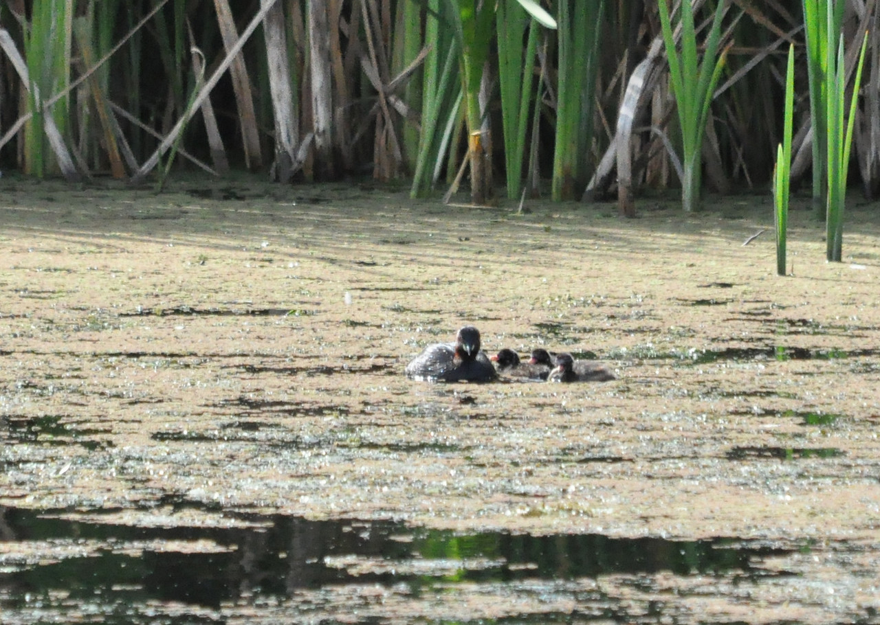 Little Grebe with little Grebes Rye Meads Sept 11 2011
