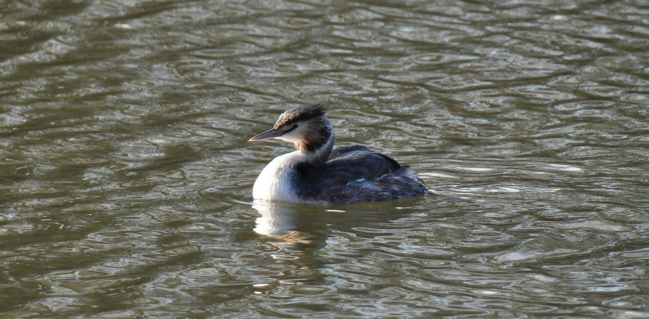 Crested Grebe Juvenile Mill Pond Bracknell Feb 2011