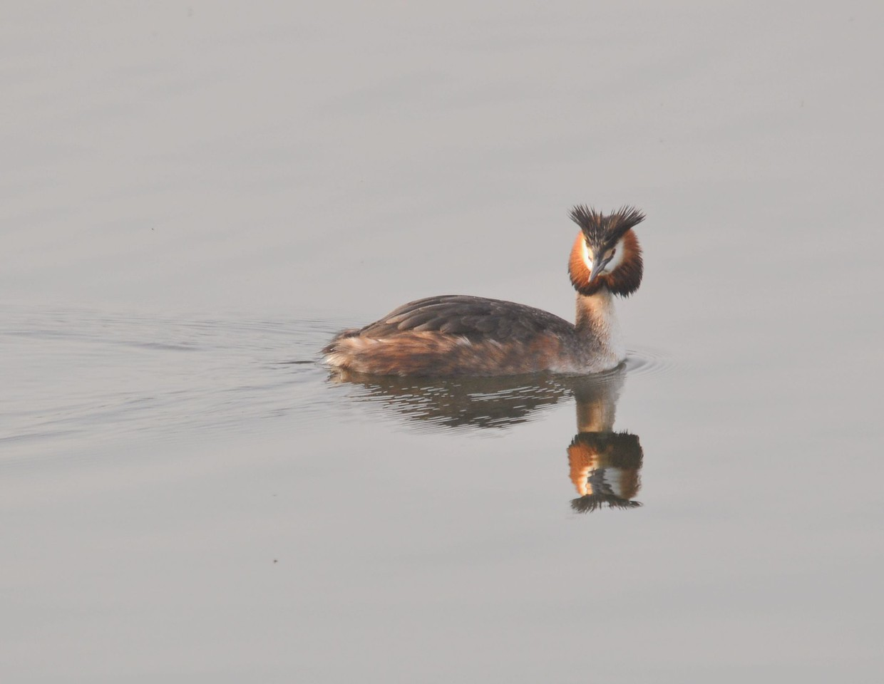 Great Crested Grebe 2012