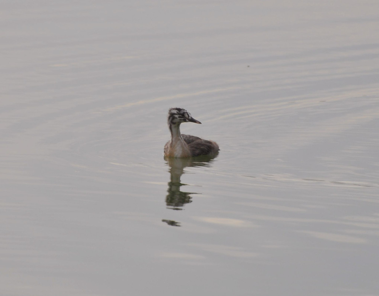 Great Crested Grebe, 2012