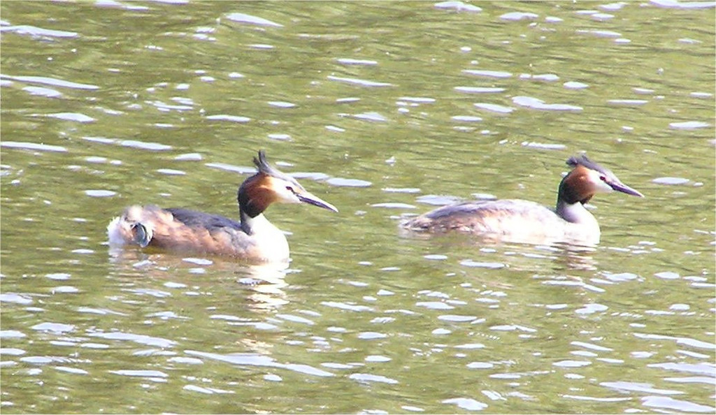 Great Crested Grebe Bracknell May 2005