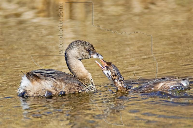 Pie-billed Grebe and Chick,<br /> Brazoria National Wildlife Refuge, Texas
