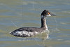 Eared Grebe, Winter Plumage,<br /> Matagorda Island, TX