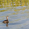 Pied-billed Grebe (in breeding plumage)