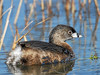 Pie-billed Grebe,<br /> San Bernard National Wildlife Refuge, Texas