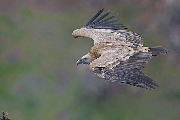 Griffon Vulture - נשר מקראי