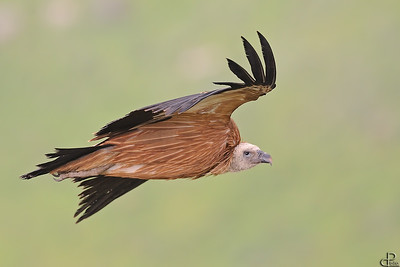 Griffon Vultures at Gamla Reserve