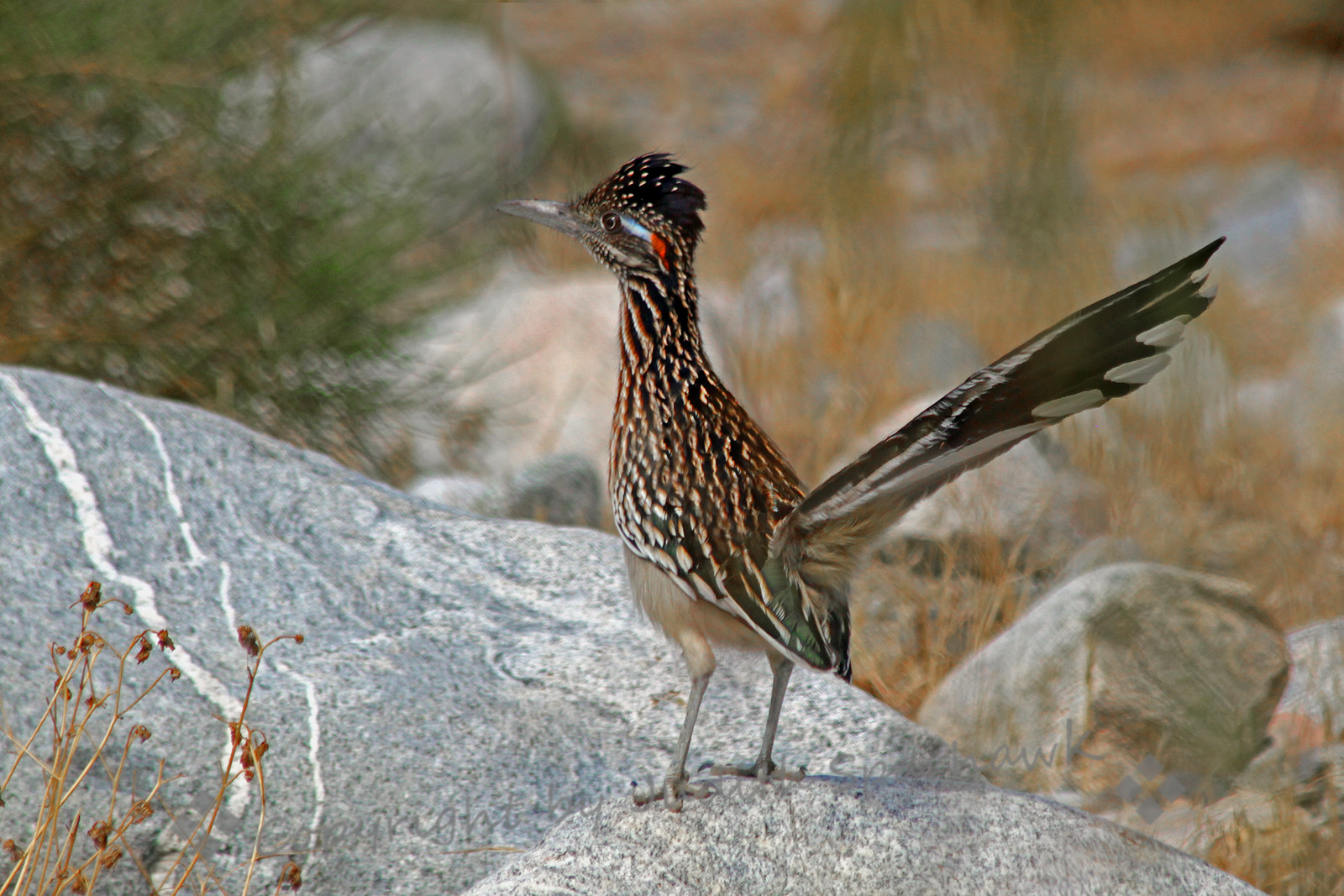 Greater Roadrunner ~ This roadrunner hopped on a rock, seeming to use it for a lookout.  I appreciated it for my photograph, as he wasn't down in the weeds.  This was taken at Whitewater Wildlands Preserve, in the desert near Palm Springs, CA.