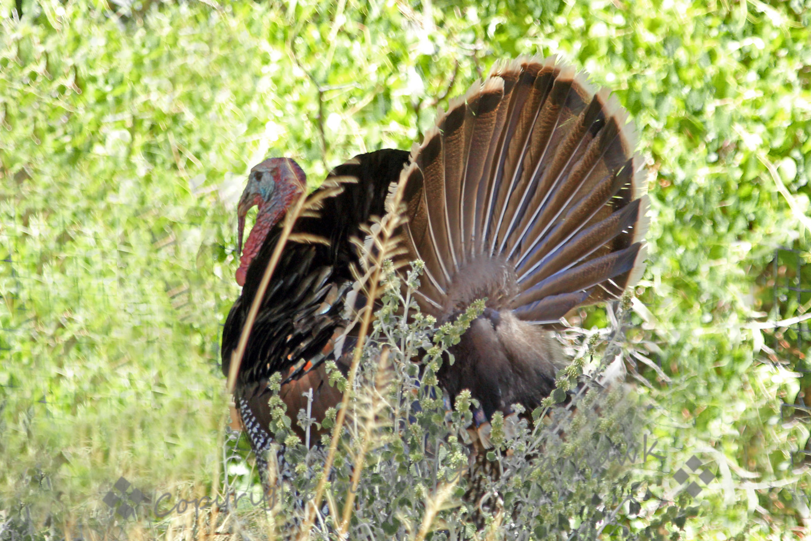 Wild Turkey ~ This male turkey was one of a large flock of wild turkeys that live in Madera Canyon, in the Santa Rita Mountains in southeastern Arizona.  About 20 of them roosted in a tall sycamore tree next to the cabin where I was staying; they made quite a commotion flying up into the tree for the night.
