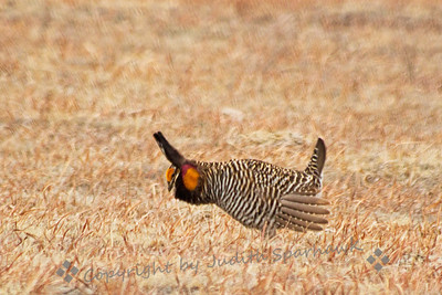 Courtship dance of the Greater Prairie Chicken ~ This pose is used to defend a territory, attract females, and to ward off other males.  They strut and stamp their feet, raise the neck feathers and tail feathers, distend the yellow air sacs, and make a variety of booming and clucking noises.  They are quite the entertainers!